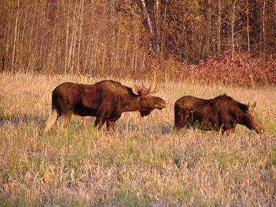 Bull Moose Following Cow Moose in Heat