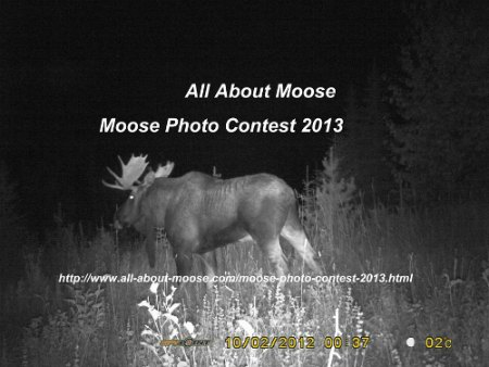 Moose Photo Contest 2013