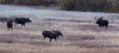 Moose Post Rut