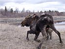 Moose rescue standing on wobbly legs