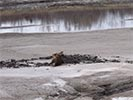 Moose rescue stuck in the mud