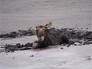 Moose rescue young bull moose stuck in the mud