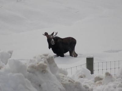 A Young Bull Moose Stands in Chest Deep Snow