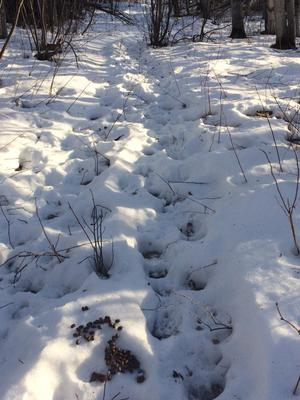 Example of moose tracks in snow.