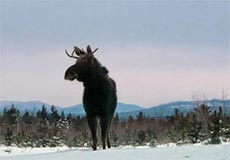Moose with deer-like antler