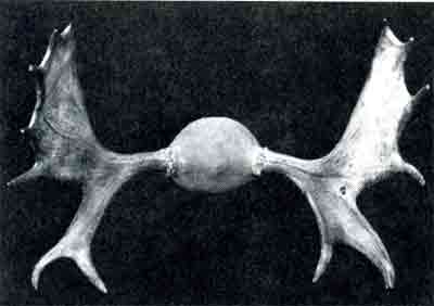 Antlers from a three and a half year old bull moose