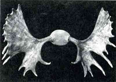 The antlers of a bull moose in its prime of life