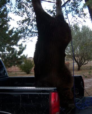 Moose hanging, ready to skin.