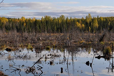 A Swamp - good moose habitat