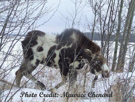 Pinto Moose | Piebald Moose | Spotted Moose