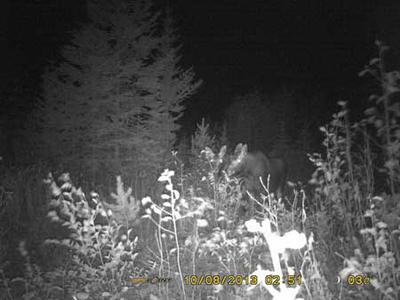 Pair of Moose Calves - Caught with a BF8 Spypoint Trail Camera
