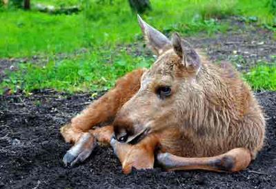A Young Moose Calf Resting