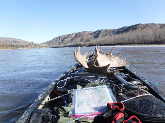 Bull moose antler loaded into a canoe.