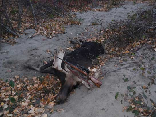 The authors moose lies on the river sand.