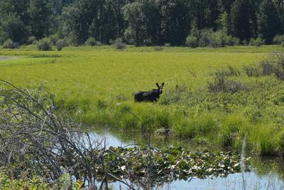 Lovely cow moose at a distance in the meadow