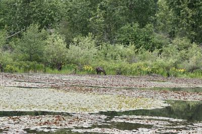 Can you spot the second moose?