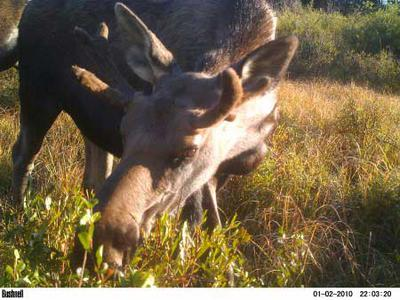 Is there a second moose rut?