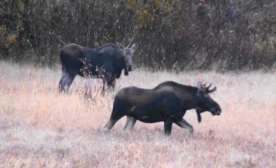 Two Immature Bull Moose Walking