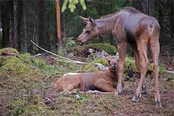 Super cute baby moose twins