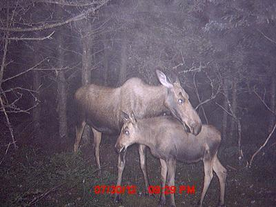 Calf Moose and Mom Trail Camera Picture