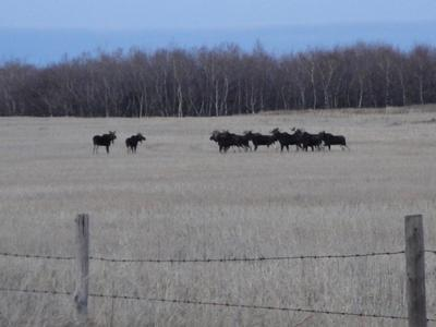 10 Bull Moose in One Gathering