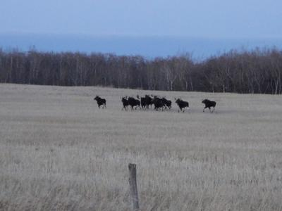 Another Shot of the 10 Bull Moose and a Cow
