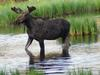 Younger Bull Moose in Velvet