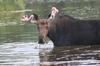 Bull Moose with White Velvet