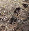 Moose Cow and Calf Track Comparision (Calf lower left corner)