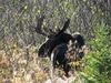 Bull Moose Looking Back