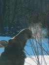 Cow Moose Nibbling on Tender Twigs