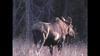 Big Cow Moose