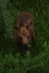Moose Calf Stands Alone