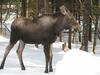 A Young Bull Moose