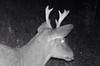 Moose and Deer Interbreeding?