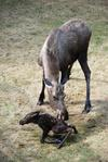 Calf Moose Growth at 15 Minutes