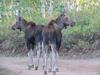 Moose Twins