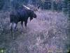 World Record Moose, Antlers Reach His Hump