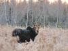 Note the white patch below the tail of this moose. That indicates this is a cow moose.