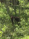 Young Moose in Colorado