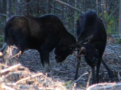 Immature Moose Sparring
