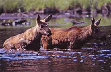 Twin baby moose cross creek