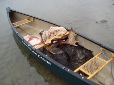 Canoe Moose Hunting