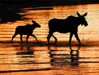 Cow and Calf Moose at Sunset
