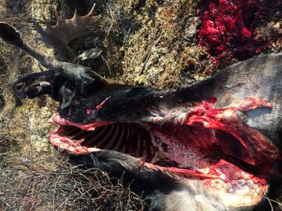 Moose after field dressing and before the hide was removed.
