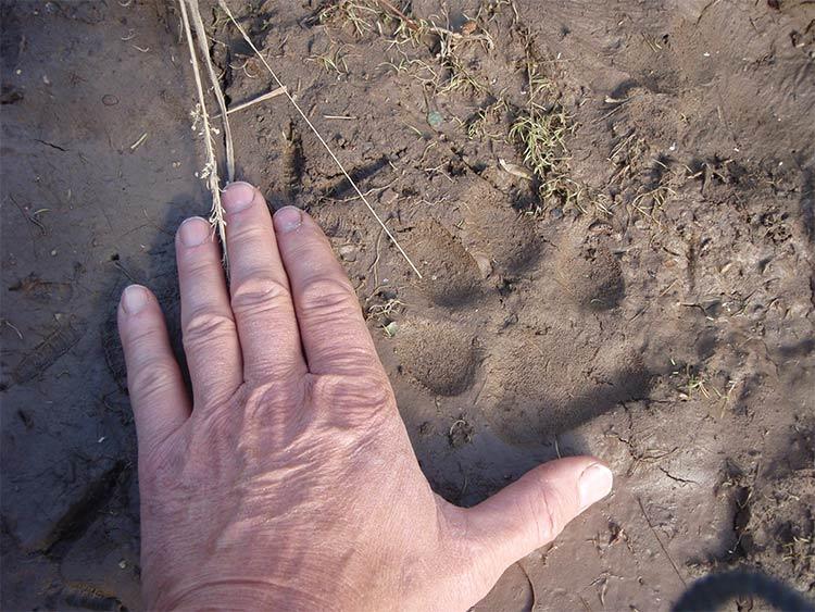 Fresh Wolf Track