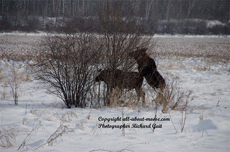 Pictures of Moose Two Young Bulls Strange Animal Behavior