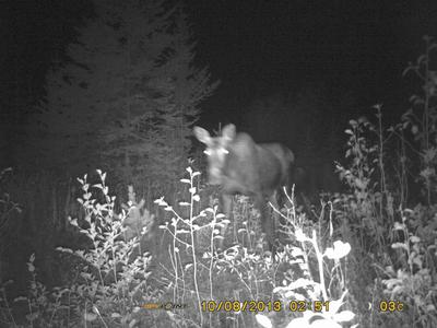 Cow and Calf Moose during the Rut
