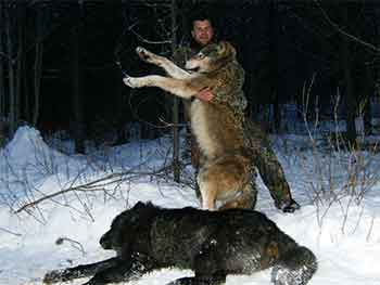 2 Big Wolves from Trapline