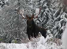 Big Country Outfitters Majestic Moose in Snow